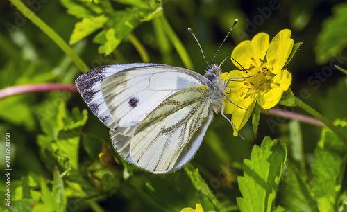 Aluminium Vlinder butterfly 35.
