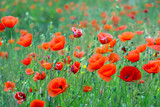 wild  red poppies at mountain meadow - 208659600