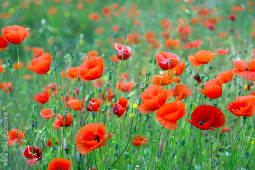 wild red poppies at mountain meadow