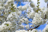 Blossom tree over nature background - 208665059