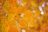 Yellow maple leaves on a twig in autumn - 208665084