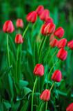 Beautiful red tulip background - 208665464