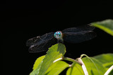 Dragonfly perched on a leaf with blue eyes - 208666018