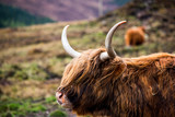 A close up of a brown highland cow - 208670049