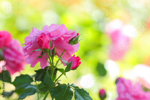 Wall mural Pink roses bloom in the garden, pink roses on a blurred background, flowers with copy space, bouquet preparation, spring garden, art