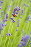 seven spotted ladybug climbing on the lavender flower on the lavender field - 208676444