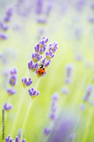 Fotobehang Lavendel ladybug climbing on the thin lavender flower