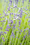 few curved white flowers on the purple lavender field - 208676602