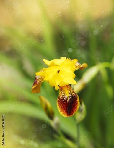 Fotobehang Iris Iris flower is growing in a garden.