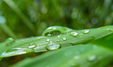 Green leaf of bamboo and water droplets close-up. Detail of a wet exotic plant after a tropical rain outdoors.