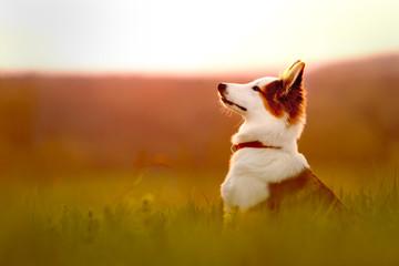 Portrait von einem jungen Hund oder Welpe sitzend beim Sonnenaufgang