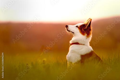 Fotobehang Zonsopgang Portrait von einem jungen Hund oder Welpe sitzend beim Sonnenaufgang