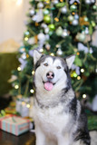 Adult malamute with Chrisymas tree in background. Concept of winter holidays and pets.