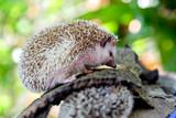 Young hedgehog . - 208705690