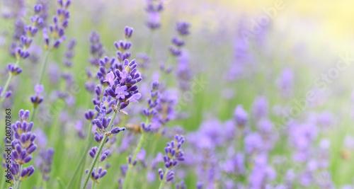 Fotobehang Lavendel Lavender field in sunny day