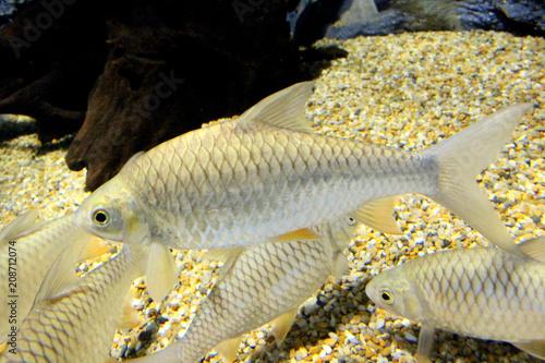 Fish: Goldfin tinfoil barb (Hypsibarbus malcolmi)