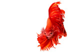red dragon Siamese fighting fish movement isolated on white background - 208713883
