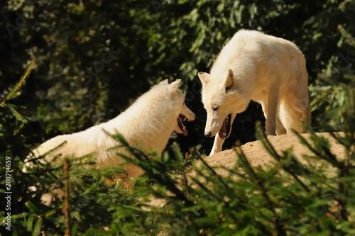 Aluminium Wolf Arctic Wolf (Canis lupus arctos)