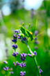 Green grasshopper on the lavender field, macro view, countryside life concept.