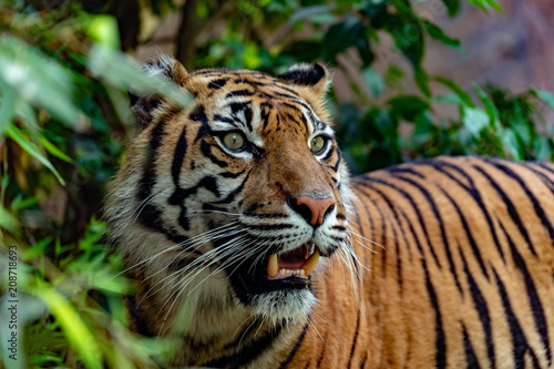Aluminium Tijger sumatra tiger portrait close up while looking at you