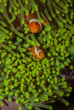Two anemone clownfish in a bright green anemone - 208727058