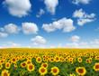 Leinwanddruck Bild - sunflowers field on sky
