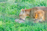 cougar having lunch time. wild animal in zoo - 208735417