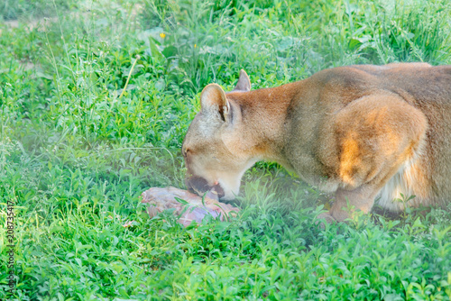 cougar having lunch time. wild animal in zoo