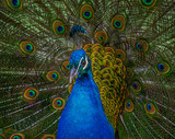 peacock with feathers out - 208739423