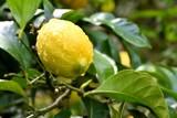 Lemon After Rain