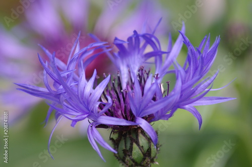 Leinwanddruck Bild Fleur de Bleuet