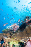 Bountiful fish swim in the clear waters near the healthy reef in Indonesia