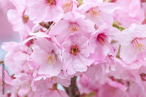 Fotobehang Purper 桜の花