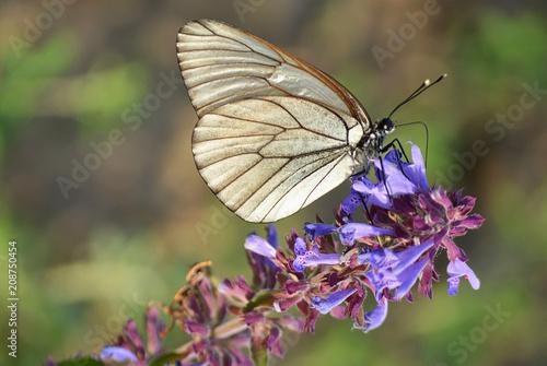 Aluminium Vlinder Бабочка на цветке.