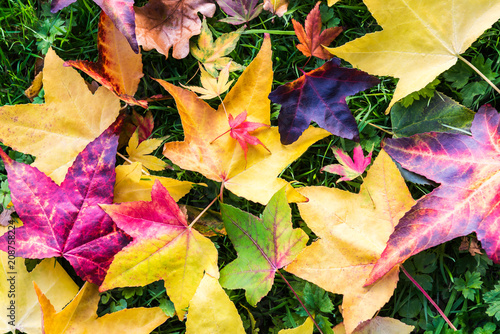 Fotobehang Meloen Bright Colorful Leaves from Maple Trees lying on the grass