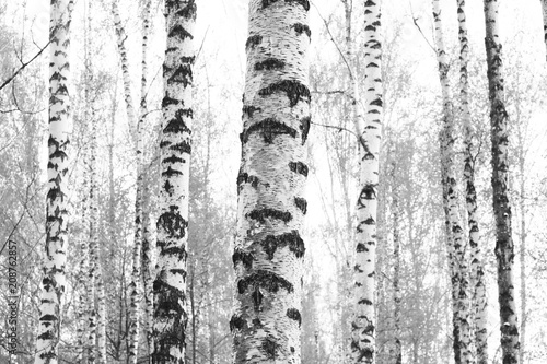 black-and-white photo with white birches with birch bark in birch grove among other birches - 208762857