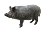 wild boar isolated - 208763039