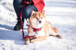 Leinwanddruck Bild - Dog of the Shiba inu breed lies on the snow on a beautiful winter forest background