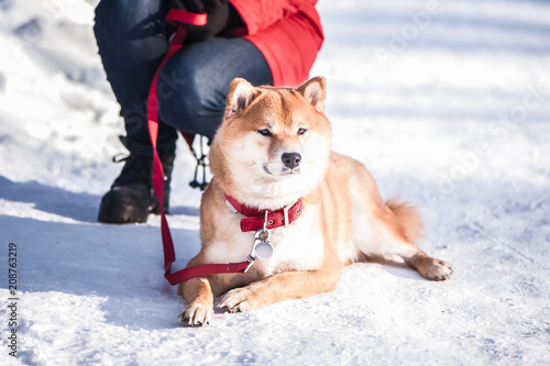 Leinwanddruck Bild Dog of the Shiba inu breed lies on the snow on a beautiful winter forest background
