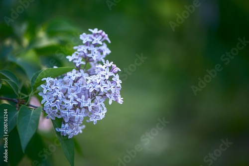 Delicate lilac on green, natural background, space for text, postcard