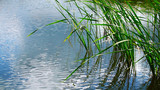 Summer lake on a Sunny day.The reeds in the water. - 208764088
