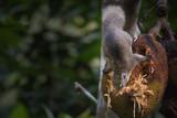 Squirrels are eating jackfruit. - 208764424