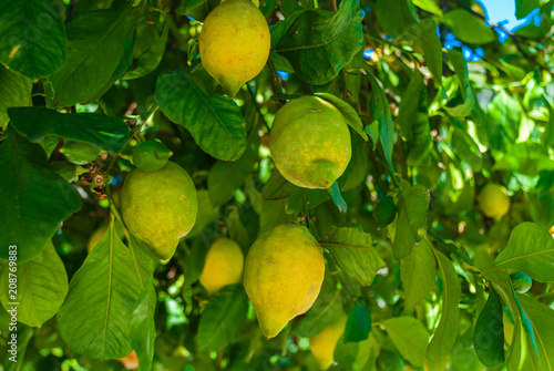 Fresh Lemon on a tree with leafs