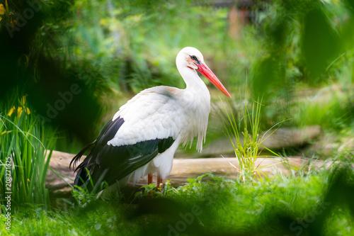 Weiß Storch