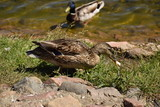 ducks in the wild near the pond - 208774264