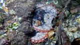 Octopus, Tintenfisch