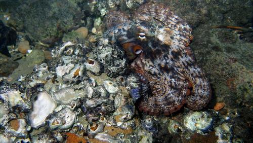 Octopus, Tintenfisch - 208774675