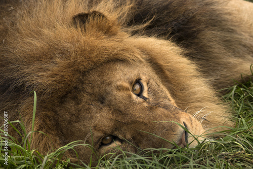 Poster Safari Park Lion
