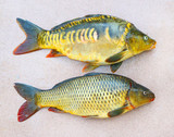 Traditional food for christmas table in Czech Republic and Poland. The Common Carp - Cyprinus Carpio. Fishing catch. - 208790019