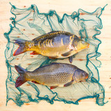 Traditional food for christmas table in Czech Republic and Poland. The Common Carp - Cyprinus Carpio. Fishing catch. - 208790260